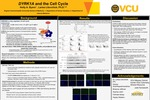 DYRK1A and the Cell Cycle by Holly Byers and Larisa Litovchick, MD, PhD